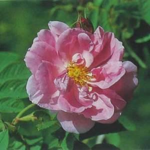 Persianrose